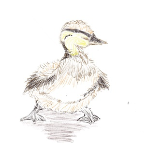Duckling. 65/365 #sketchdaily